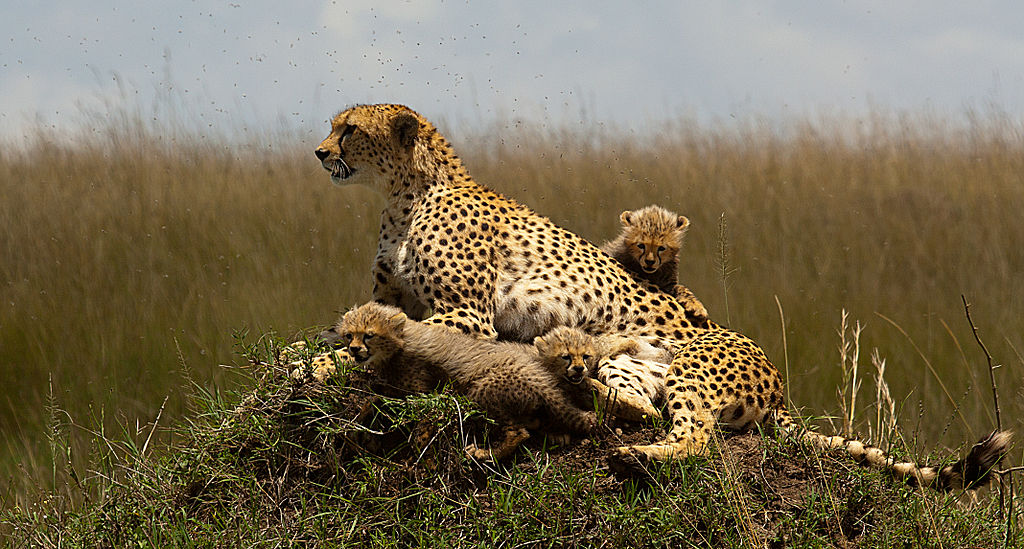 Découverte_Voyage_Kenya_Cheetah